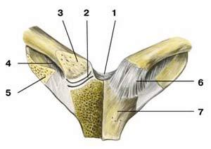 Особенности грудино-ключичного сустава где в дубне пройти узи таз бед сустава