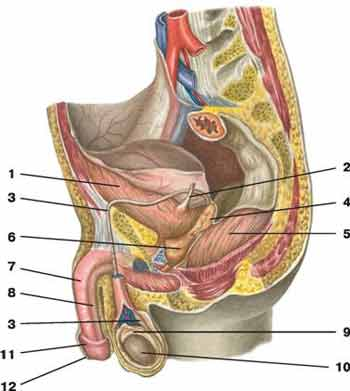 Мышцы крепится член