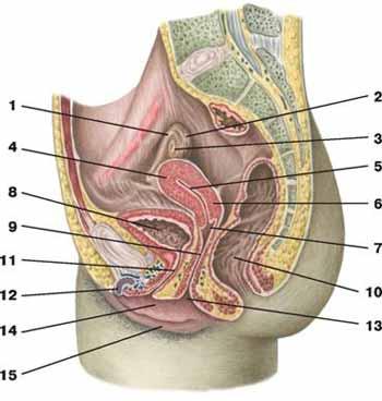 Женские половые органы вид